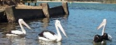 Pelicans near Gordon Park in Nambucca  © 2000 Photo by Nambucca Graphics